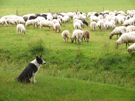 A shepherd dog and his sheep Stock Photo - 11912328
