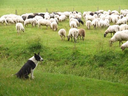 pastor: Un perro pastor y sus ovejas