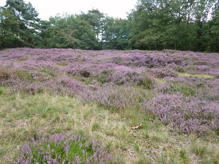 The Heather fields in the north of the Netherlands Stock Photo - 12039237