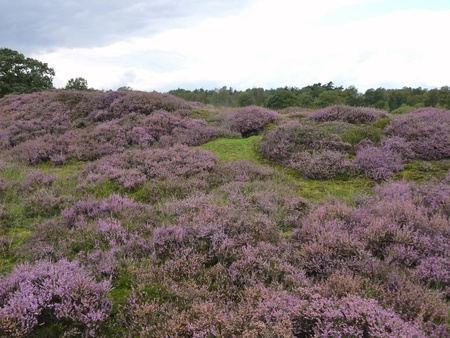 Flowering heather on the moor fields in the north of the Netherlands Stock Photo - 12039718