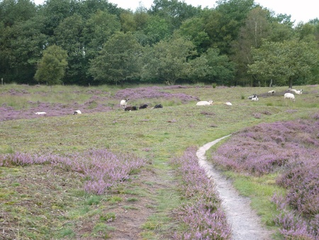 A crowd of sheep at the moor fields of a national park in the northern part of the Netherlands Stock Photo - 12036882