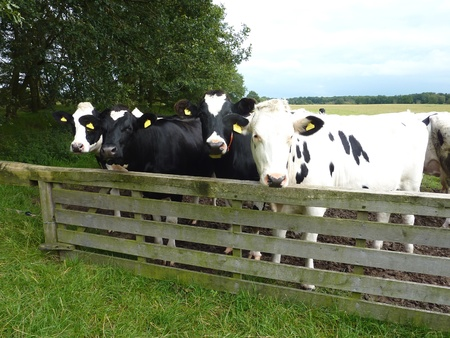 Curious Frisian cows in a meadow behind a gate in the Netherlands photo