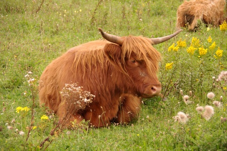 A scottish highland cow resting between the flowers on a grass field Stock Photo - 11909243
