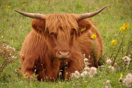 A scottisch highland cow resting  in the fields of a nature park photo