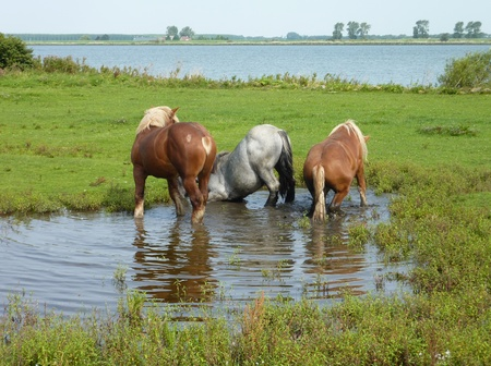 Young work horses lying and standing in the water of a pool on the nature island Tiengemeten in Zuid-Holland in the Netherlands photo