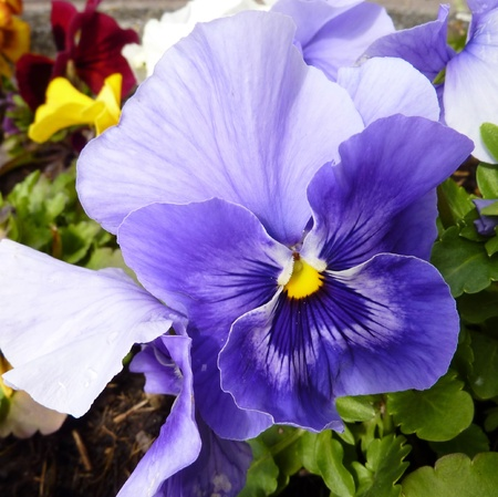 A blue flowering pansy Stock Photo