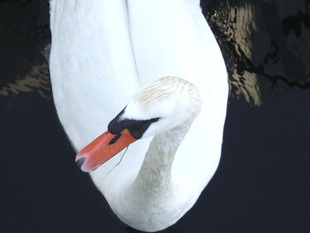 A sophisticated mute swan in the water Stock Photo - 11768628