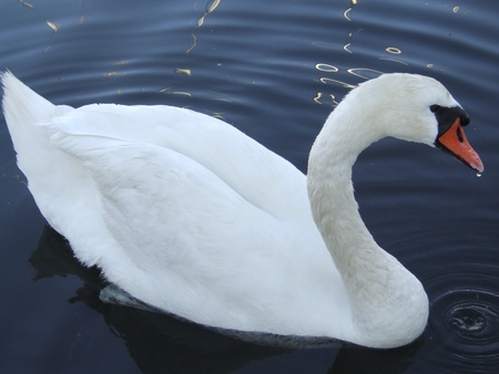 percept: A sophisticated mute swan in the water