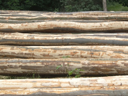 Drying peeled tree trunks photo