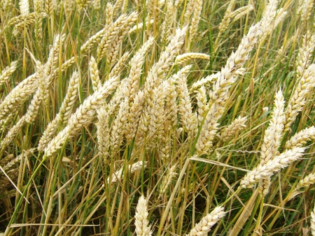 An almost ripe wheat field photo