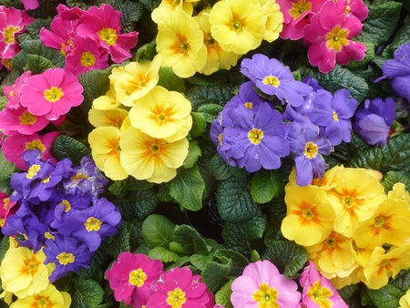 Colorful primula plants in spring