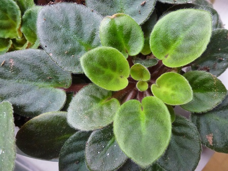 The leaves of the African violet photo