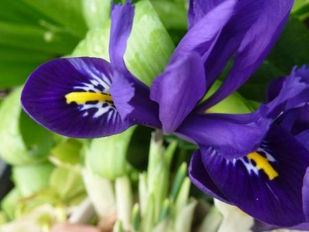 showy: Iris flowering plant with showy flowers Stock Photo