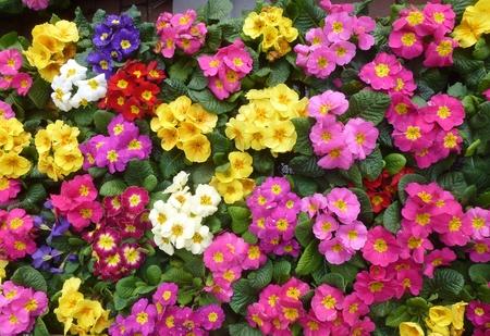 Colorful primula plants in spring photo