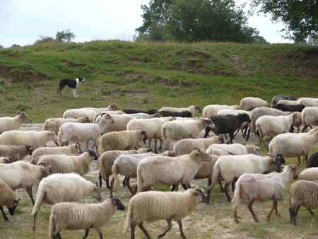 A crowd of sheep at the moor fields of a national park in the northern part of the Netherlands Stock Photo - 12186393