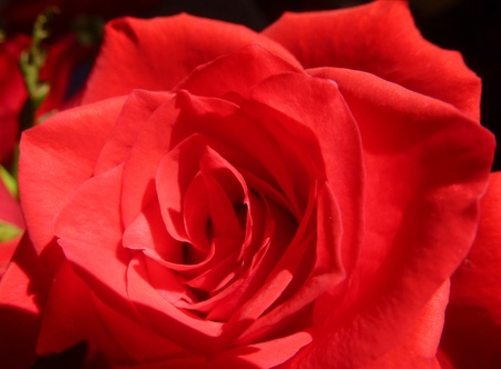 A close up of a red flowering rose photo