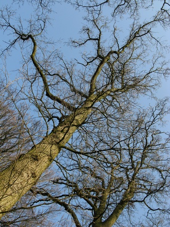 Barren branches of a tree opposite a blue sky in winter Stock Photo - 12186473