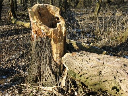 streak lightning: A broken tree stricken by thunderbolt on a natural island in winter