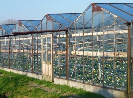 moistness: Viole del pensiero in una casa di vetro in inverno