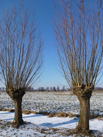 snowlandscape: Willow trees in the fields in a snowlandscape