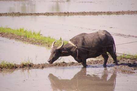 A working buffalo at the rice fields in the Philippines photo
