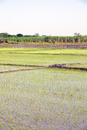 breeding ground: Rice fields in the Philippines Stock Photo