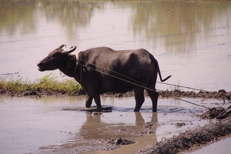 breeding ground: A working buffalo at the rice fields in the Philippines