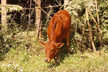 Young bull olang a road in Vietnam Stock Photo - 12327285