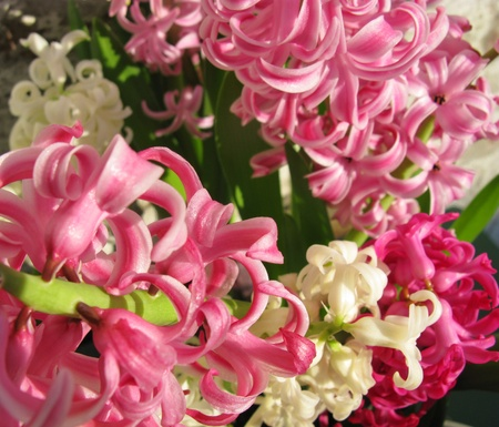 White and pink flowering hyacinth in spring Stock Photo - 12378139