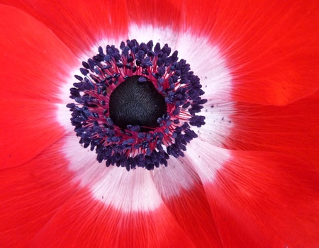 A red flowering anemone in spring photo