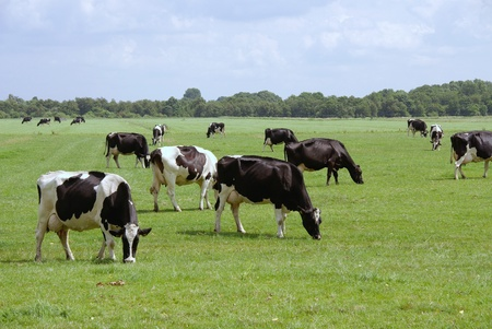 Black and white Frisian cows in a meadow Stock Photo