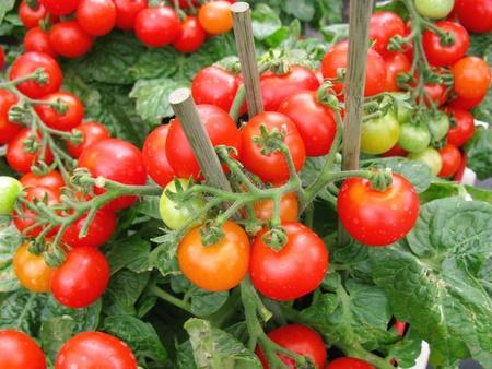 tomates: Une plante avec des fruits de tomate Banque d'images