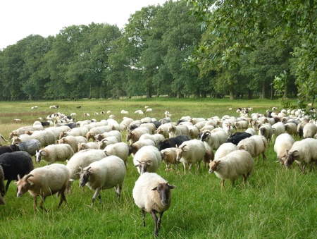 A crowd of sheep in the fields Stock Photo - 12408954
