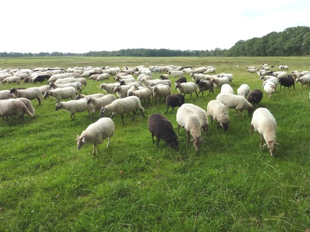 A crowd of sheep in the fields of a national park in the northern part of the Netherlands photo