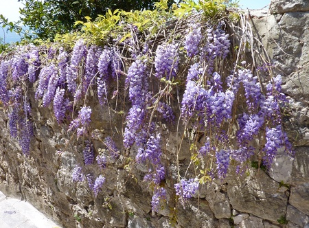 A flowering Wisteria Sinensis a plant of the pea family Fabaceae photo