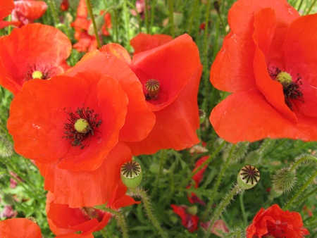 poppy seeds: Red blooming poppy flowers in the countryside