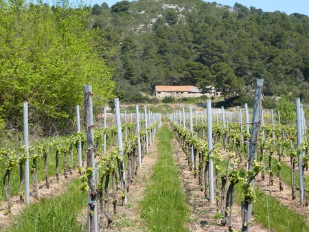 A wine vineyard at the island Lastovo in Croatia Stock Photo - 12327379