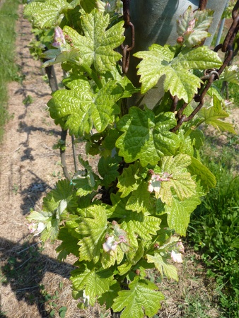 Grapes in a wine vineyard at the island Lastovo in Croatia Stock Photo - 12381671