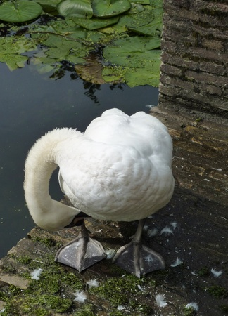 olur: Mute swan  cygnus olur  at a canal in autumn
