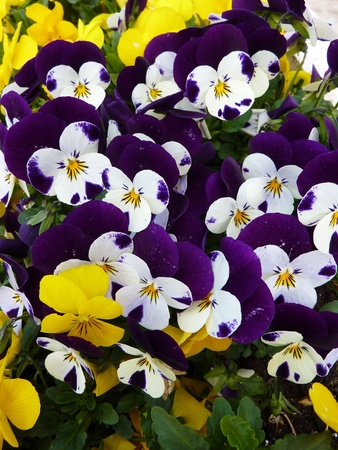 Colorful pansies in spring photo