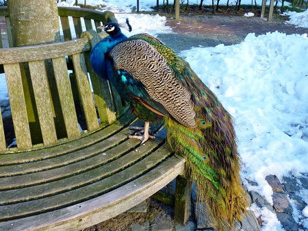 indian peafowl: A indian or blue ribbon peacock  pavo christatus  on a bench