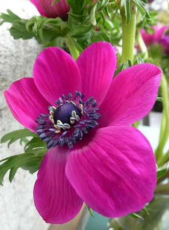 A red blooming anemone flower in spring photo