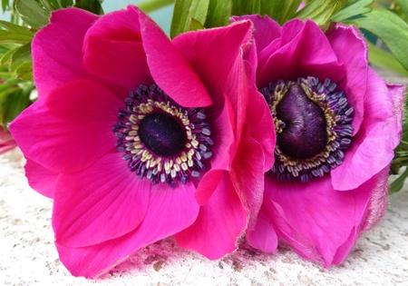 red flowering Anemone flowers photo