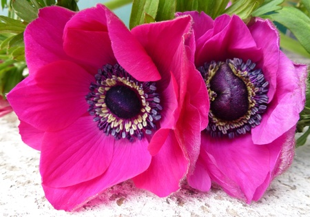 red flowering Anemone flowers Stock Photo