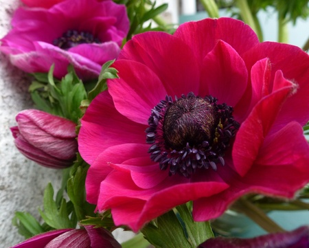 Red flowering anemone in spring