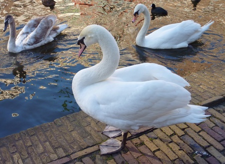 olur: Mute swans in a canal in the city