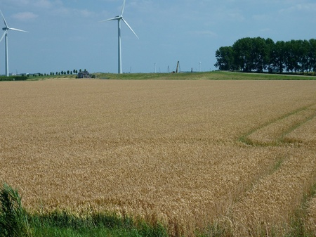 flakkee: A wheat field with cart tracks in summer Stock Photo
