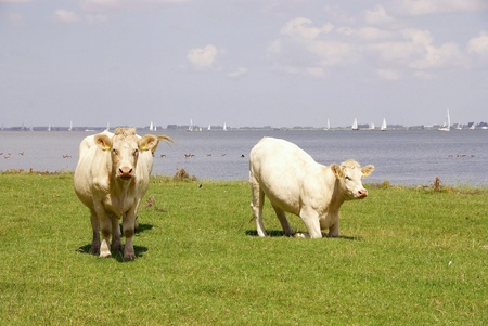 Blonde d aquitaine cows at the wash outs of Goeree-Overflakkee at the Haringvliet in the Netherlands