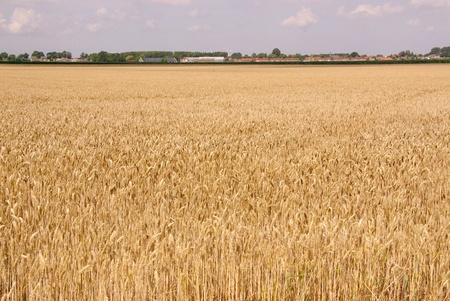 A wheat field with a village at the horizon Stock Photo
