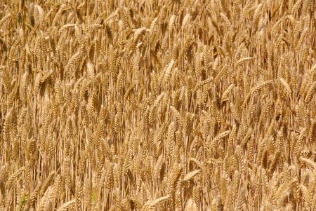 overflakkee: Wheat ears in a grain field Stock Photo